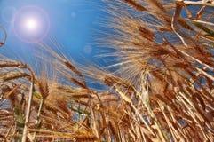 Weizen im Sommer Lizenzfreie Stockfotografie