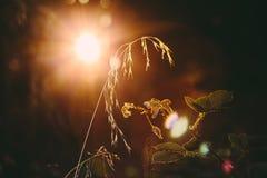 Weizen im Sonnenaufgang Stockfotos