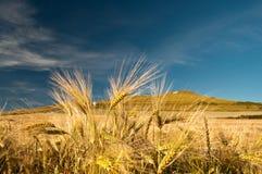 Weizen im Wind stockbilder
