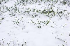 Weizen im Winter Lizenzfreie Stockfotos