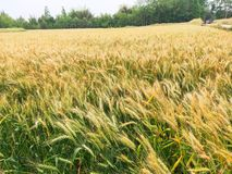 Weizen ist eins der drei Hauptkörner stockbild