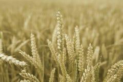 Weizen-Köpfe Stockbild