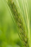 Weizen-Kopf Lizenzfreie Stockbilder