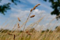 Weizen lokalisiert auf blauem Himmel stockbilder
