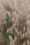 Weizen makro Bild Stockfotografie