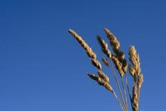 Weizen mit dem Himmel Stockfotos
