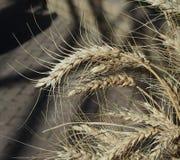 Weizen mit den langen Grannen Lizenzfreie Stockfotos