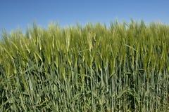 Weizen mit einem blauen Himmel Lizenzfreies Stockfoto
