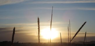 Weizen mit Sonnenuntergang lizenzfreies stockbild