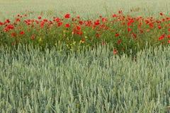 Weizen mit Streifen von Mohnblumen Lizenzfreies Stockfoto