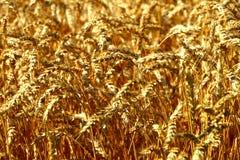Weizen-oben Abschluss Lizenzfreie Stockbilder