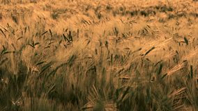 Weizen- oder Gerstenfeld, das im Wind bei Sonnenuntergang oder Sonnenaufgang durchbrennt stock video footage