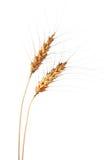 Weizen-Ohren Lizenzfreies Stockfoto