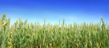 Weizen panoramisch Lizenzfreies Stockfoto