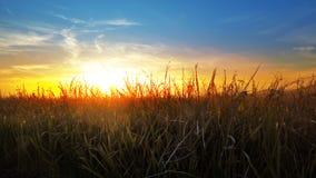 Weizen, Reisohren bei Sonnenuntergang mit Mähdrescher am Hintergrund lizenzfreie stockfotografie
