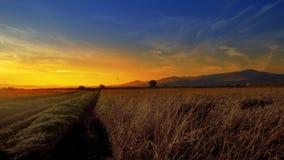 Weizen, Reisohren bei Sonnenuntergang mit Mähdrescher am Hintergrund stockfoto