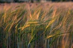 Weizen am Sonnenuntergang Stockfotos