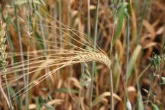 Weizen-Spitze Stockfoto