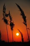 Weizen-Stiel stockfoto
