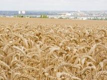 Weizen-Stiele Stockfoto