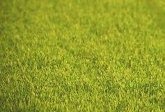 Weizen (Triticum) auf Vorfrühling Lizenzfreies Stockfoto