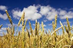 Weizen und blauer Himmel Stockbilder