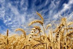 Weizen und blauer Himmel Stockfoto