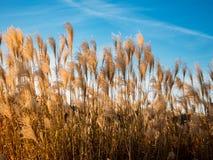 Weizen und blauer Himmel stockbild