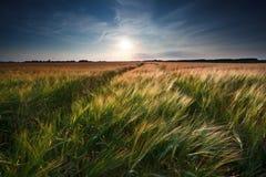 Weizen- und Gerstenfeld Stockbild
