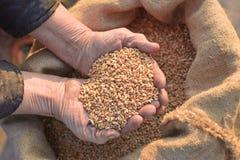 Weizen und Hände des alten Landwirts Stockfoto