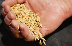 Weizen und Hände des alten Landwirts Lizenzfreie Stockbilder