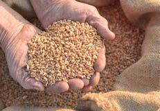 Weizen und Hände des alten Landwirts stockfotografie