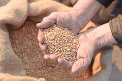 Weizen und Hände des alten Landwirts Lizenzfreies Stockfoto