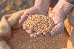 Weizen und Hände des alten Landwirts Lizenzfreie Stockfotografie