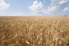 Weizen und Himmel Stockbild