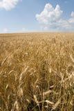 Weizen und Himmel Stockfotografie