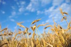 Weizen und Himmel Stockbilder