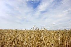 Weizen und Himmel Lizenzfreie Stockfotos