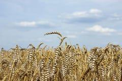 Weizen und Himmel Lizenzfreies Stockbild