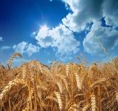 Weizen und Himmel Stockfoto