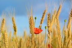 Weizen und Mohnblumen stockfotografie