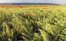 Weizen und Mohnblumen stockfoto