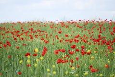Weizen- und Mohnblumenfeld Lizenzfreies Stockfoto