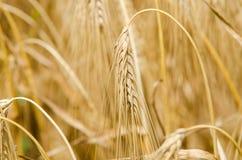 Weizen und Ohr des Weizens Stockbilder