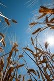 Weizen und Sonne Stockfotografie
