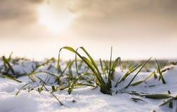 Weizen unter Schnee Stockbild