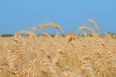 Weizen vor Ernte Lizenzfreie Stockfotos