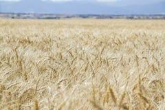 Weizenanbau auf einem Gebiet Stockbilder
