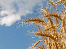Weizenanbau auf Feld mit Hintergrund des bewölkten Himmels Lizenzfreie Stockfotos