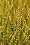 Weizenanbau reif, Detail der gelbgrünen Spitzen im Juli Lizenzfreies Stockbild